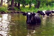 Cows in the Krutynia River (2)