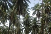PNG - palms, plams everywhere