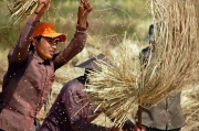 Laos - rice harvesting 1